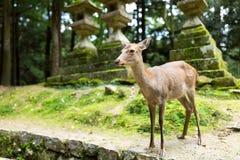 Ciervos en templo japonés imagen de archivo libre de regalías