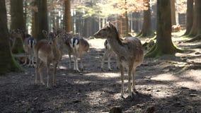 Ciervos en un bosque hermoso almacen de metraje de vídeo