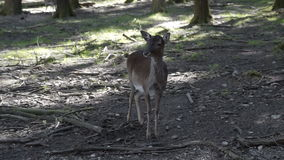 Ciervos en un bosque sombrío metrajes