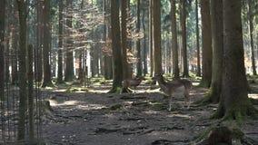 Ciervos en un bosque sombrío almacen de video