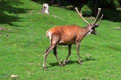 Ciervos en un césped verde Imagen de archivo libre de regalías