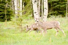 Ciervos en un campo Fotos de archivo libres de regalías