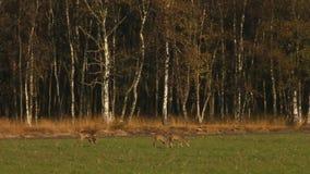 Ciervos en un campo metrajes