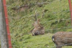 Ciervos en un recinto Foto de archivo libre de regalías