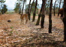 Ciervos en una granja del pavo real, cerca de Burgas, Bulgaria Imagen de archivo