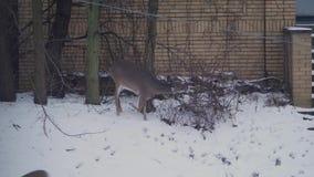 Ciervos en vecindad residencial metrajes