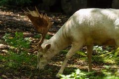 Ciervos en Wildpark Neuhaus Foto de archivo libre de regalías