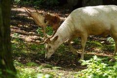 Ciervos en Wildpark Neuhaus Imágenes de archivo libres de regalías