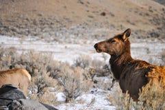 Ciervos en Yellowstone Imágenes de archivo libres de regalías