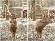 Ciervos europeos fotos de archivo