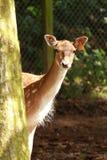 Ciervos femeninos Foto de archivo libre de regalías