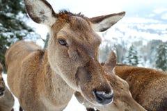 Ciervos femeninos Imagen de archivo libre de regalías