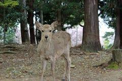 Ciervos femeninos Fotografía de archivo libre de regalías