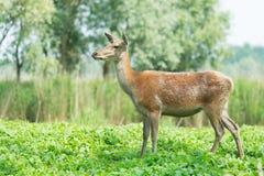 Ciervos femeninos en naturaleza Imagen de archivo libre de regalías