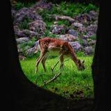 Ciervos femeninos que pastan imagenes de archivo