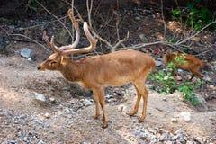 Ciervos Frente-Antlered birmanos (ciervos de Eldâs) Imagen de archivo libre de regalías
