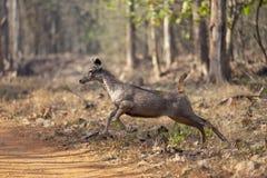 Ciervos galopantes del Sambar vistos en Tadoba, Chandrapur, maharashtra, la India foto de archivo
