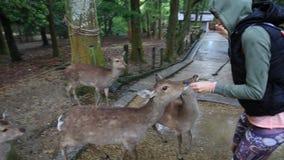Ciervos hambrientos de Nara almacen de metraje de vídeo