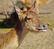 Ciervos, hembra, Imagen de archivo libre de regalías