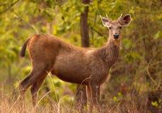 Ciervos indios del sambar imagen de archivo libre de regalías
