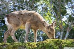 Ciervos japoneses Foto de archivo libre de regalías