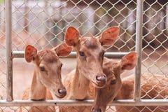 Ciervos jovenes Foto de archivo