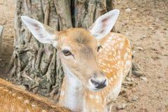 Ciervos jovenes de la cola blanca en campo Fotos de archivo libres de regalías