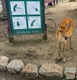 Ciervos jovenes hermosos y lindos en Nara Park Imagen de archivo libre de regalías