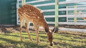 Ciervos jovenes lindos divertidos que presentan mientras que come la hierba en el parque zoológico almacen de video
