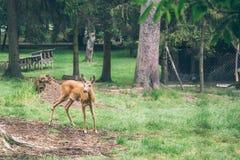 Ciervos jovenes que caminan en un parque fotografía de archivo