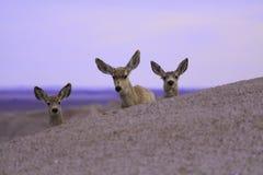 Ciervos lindos Foto de archivo libre de regalías