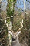 Ciervos - macho de Sika imagenes de archivo