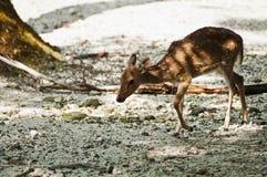 Ciervos manchados Fotografía de archivo libre de regalías