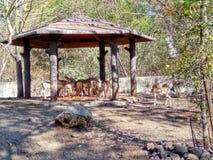 Ciervos manchados Imagen de archivo