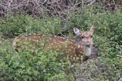 Ciervos manchados Chital Foto de archivo