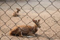Ciervos manchados detrás de las jaulas foto de archivo