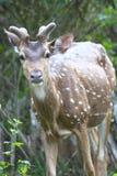Ciervos manchados en alta alarma Fotos de archivo