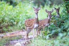 Ciervos manchados en bosque Imagen de archivo libre de regalías
