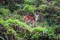 Ciervos manchados en Chitwan, Nepal Imagen de archivo libre de regalías