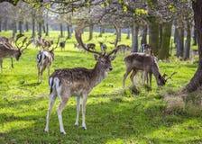 Ciervos manchados en el parque de Phoenix, Dublín fotografía de archivo libre de regalías