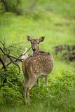 Ciervos manchados en el parque nacional de Gir, la India Foto de archivo