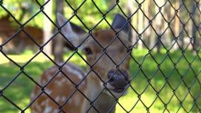 Ciervos manchados en el parque zoológico almacen de metraje de vídeo