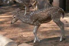 Ciervos manchados en el parque zoológico de Dusit en Bangkok , Tailandia fotografía de archivo