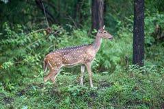 Ciervos manchados en greenary Fotos de archivo libres de regalías