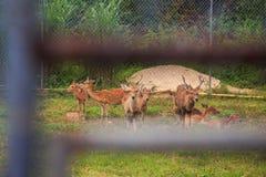 Ciervos manchados en jaula al aire libre a través del enrejado en parque zoológico Foto de archivo libre de regalías