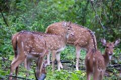 Ciervos manchados en lluvia Imagen de archivo