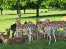 Ciervos manchados en Richmond Park - Reino Unido Fotos de archivo