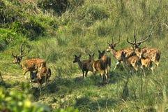 Ciervos manchados Fauna, safari en la frontera de Nepal y la India imagen de archivo libre de regalías