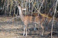 Ciervos manchados que alimentan en las semillas de bambú Foto de archivo