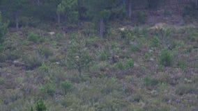 Ciervos masculinos con la asta enorme que caminan hacia cámara almacen de metraje de vídeo